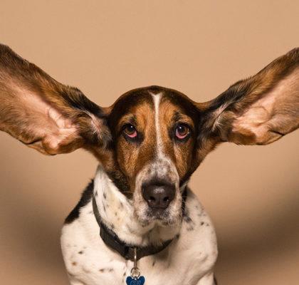 Hund mit Riesenohren