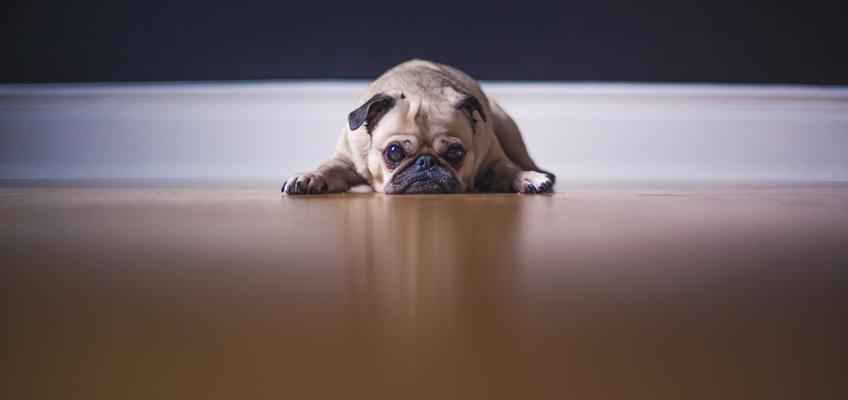 Hunde liegt auf Fußboden